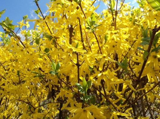 Forsythia is blooming!
