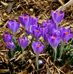 The crocus returns.